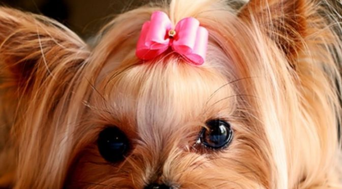 Styling Your Yorkie Was Never Fun Before!