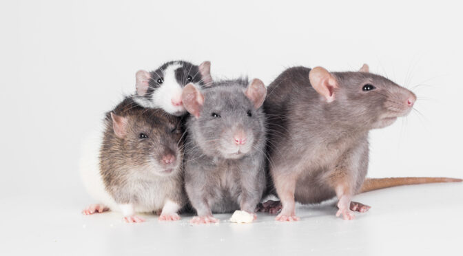 Rethinking Rodents: How to Tell if Your Infestation is Mice or Rats